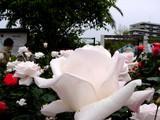 20050522-習志野市谷津3・習志野谷津公園・谷津バラ園・ロイヤルハイネス-1125-DSC01712