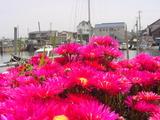 20050521-船橋市栄町1・路地の花-1240-DSC01616