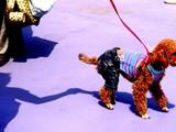 20050505-船橋市浜町2・ららぽーとウェスト・ペットエコ横浜・ワンちゃんのファッションショー-1332-DSC00735