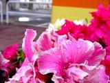 20050324-船橋市・ららストリート・春の花-0858-DSC07081