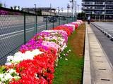 20050429-船橋市浜町・ららぽーと・ツツジ-1007-DSC09600