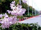 20050416-習志野市・習志野緩衝緑地・香澄公園・桜-1025-DSC08769