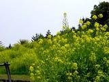 20050416-千葉市美浜区美浜・幕張海浜公園・菜の花-1152-DSC08975