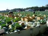 20051023-船橋市金杉町・秋キャベツの収穫-1019-DSC01201