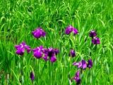 20050529-習志野市香澄・習志野緩衝緑地・香澄公園・ショウブ池・ハナショウブ-1133-DSC02193
