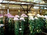 20051104-葛飾八幡宮・市川市菊花展-1436-DSC05229