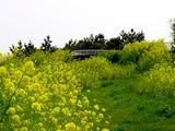 20050416-千葉市美浜区美浜・幕張海浜公園・菜の花-1152-DSC08976