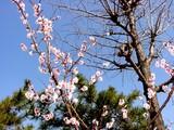 20050327-船橋市日の出1・湊中学校・桜-1049-DSC07381