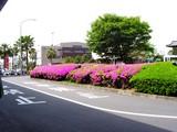 20050501-船橋市浜町2・ららぽーとウェスト前・ツツジ-1251-DSC09876