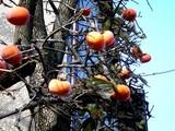 20051203-船橋市宮本5・柿-0954-DSC09553