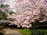 20050416-習志野市・習志野緩衝緑地・香澄公園・桜-1024-DSC08760
