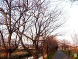20050326-船橋市・海老川・桜まつり-1728-DSC07251