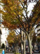 20051119-船橋市湊町2・街路樹の紅葉-0952-DSC07551