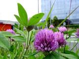20050529-習志野市芝園1・ムラサキツメクサ(紫詰草)・アカツメクサ-1038-DSC02103