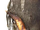 20050327-船橋市日の出2・くい込んだ街路樹-1056-DSC07396