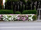 20050422--船橋市浜町2・ららぽーと・道路わきのツツジ-0751-DSC08847