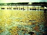 1994(平成6)年9月:三番瀬・青潮の発生によりアサリが被害・行徳漁業共同組合-DSC09054