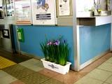 20050609-船橋市若松・JR京葉線・JR南船橋駅・アヤメ-0929-DSC00303