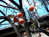 20051203-船橋市宮本5・柿-0954-DSC09551