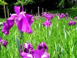20050529-習志野市香澄・習志野緩衝緑地・香澄公園・ショウブ池・ハナショウブ-1135-DSC02205