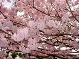 20050416-習志野市・習志野緩衝緑地・香澄公園・桜-1023-DSC08752