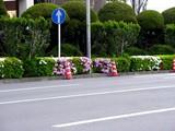 20050422--船橋市浜町2・ららぽーと・道路わきのツツジ-0751-DSC08846