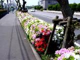 20050429-船橋市浜町・ららぽーと・ツツジ-1010-DSC09604