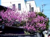 20050327-船橋市市場1丁目・桜-1126-DSC07447