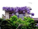 20050501-船橋市東船橋1・藤(フジ)-1114-DSC09851