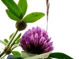 20050529-習志野市芝園1・ムラサキツメクサ(紫詰草)・アカツメクサ-1039-DSC02106