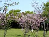 20050416-習志野市・習志野緩衝緑地・秋津公園-0948-DSC08661