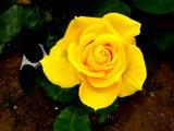 20050522-習志野市谷津3・習志野谷津公園・谷津バラ園・インカ-1129-DSC01724