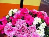 20050324-船橋市・ららストリート・春の花-0858-DSC07082