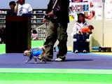 20050505-船橋市浜町2・ららぽーとウェスト・ペットエコ横浜・ワンちゃんのファッションショー-1325-DSC00725