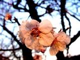 20050326-船橋市・海老川・桜まつり-1731-DSC07257