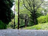 20050416-千葉市美浜区幕張西6・緩衝緑地・香澄公園・タンポポ-1034-DSC08790