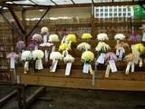 20051104-葛飾八幡宮・市川市菊花展-1436-DSC05233