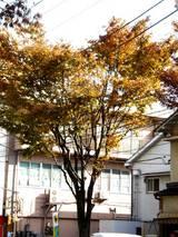 20051119-船橋市港町2・街路樹の紅葉-0952-DSC07553