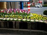 20061207-船橋市浜町2・ららぽーと・花壇・冬-DSC06632