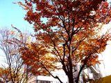 20061210-船橋市湊町・街路樹・秋-1104-DSC07128