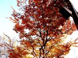 20061210-船橋市湊町・街路樹・秋-1104-DSC07127