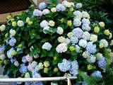 20070616-船橋市宮本・ふなばし美術学院・アジサイ-1254-DSC09589