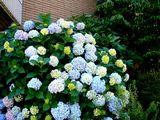 20070616-船橋市宮本・ふなばし美術学院・アジサイ-1254-DSC09590