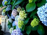 20070616-船橋市宮本・ふなばし美術学院・アジサイ-1255-DSC09592