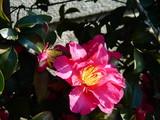 20071215-ららぽーとTOKYO-BAY・サザンカ・山茶花-1323-DSC09676