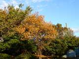 20071123-習志野市秋津・秋津公園・紅葉-1503-DSC06987