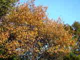 20071123-習志野市秋津・秋津公園・紅葉-1504-DSC06988