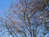 20071125-船橋市西浦町1・船橋高等技術専門校・桜-1100-DSC07261