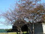 20071125-船橋市西浦町1・船橋高等技術専門校・桜-1053-DSC07228