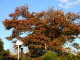 20071123-習志野市秋津・秋津公園・紅葉-1508-DSC07002